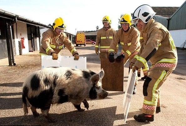 Прасе помага при обучението на пожарникари