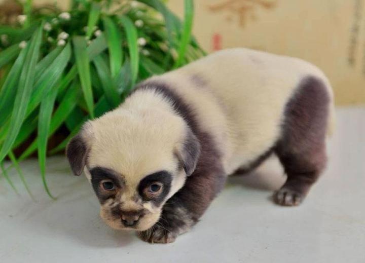 Родиха се уникални кученца с окраска като на панда