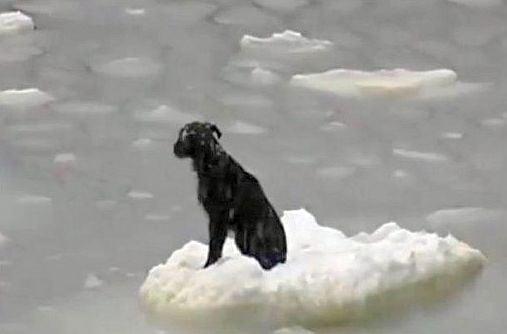 Спасиха куче, плаващо върху леден блок в Охотско море