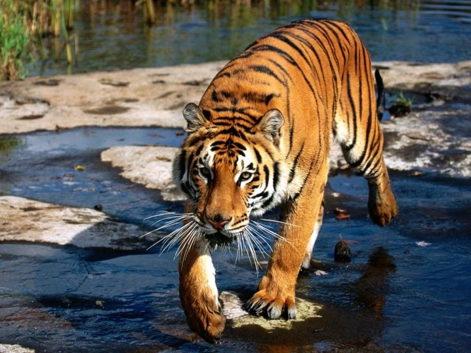 Тигрите възвръщат местообитанията си в някои части на Азия