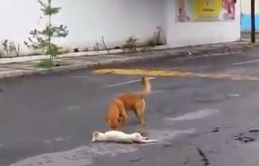 Трогателни, но реални кадри - куче спасява ранения си приятел на пътя