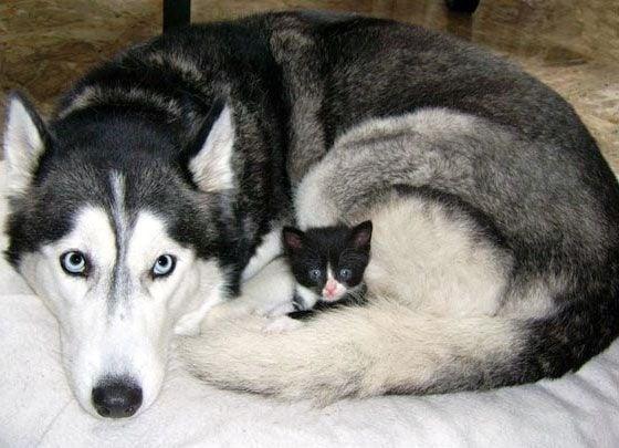 Умилителни кадри, доказващи любовта между големите кучета и малките котенца