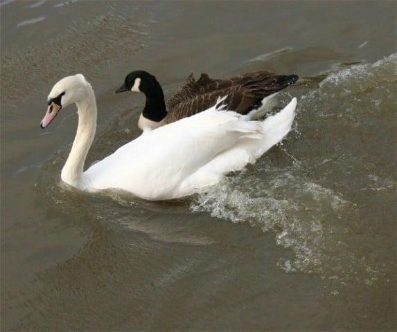 Мъртви лебеди и гъски бяха открити в езерото Дуранкулак