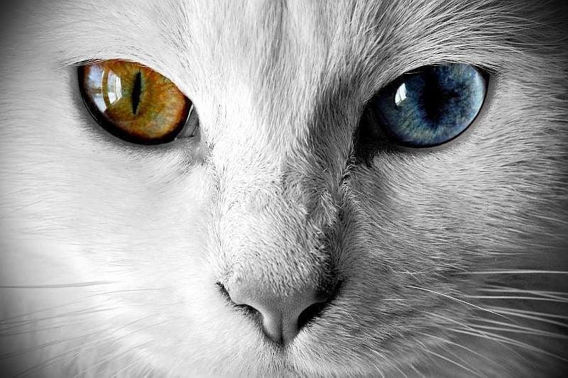 Уникални фотографии на животни с хетерохромия
