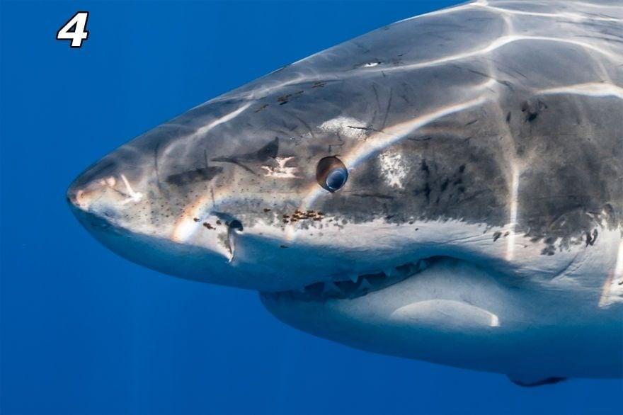 Уникални снимки на Голяма бяла акула