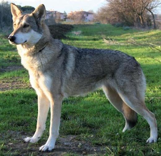 Вълче куче на Саарлоос
