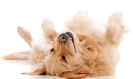 Какво показва въртенето  по гръб на кучето?