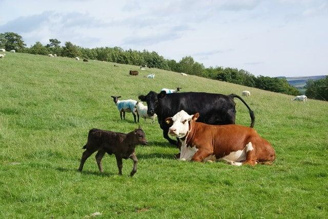 Незаразни болести - Преживни животни