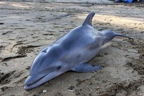 Смъртоносен вирус уби над 700 делфина
