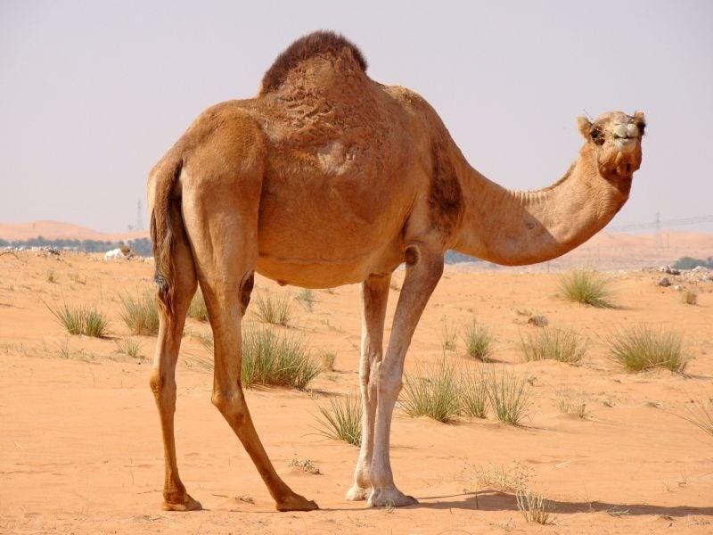 За какво служи гърбицата на камилата?
