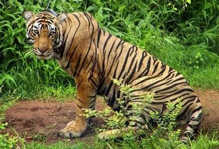 Индия вдигна забраната за туристически турове в парковете с тигри