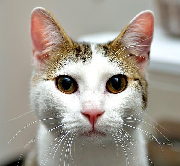 Защо котката ме гледа настойчиво?