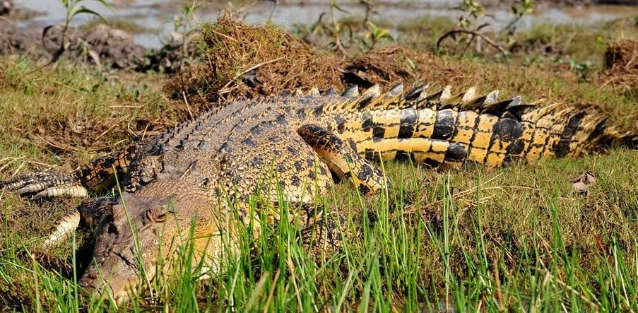 Защо гълтат камъни крокодилите?