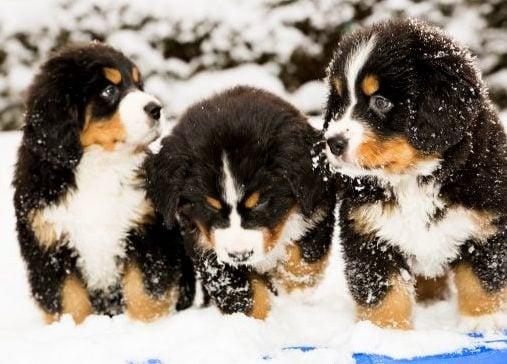 Защо някои кучета обичат да ядат сняг?