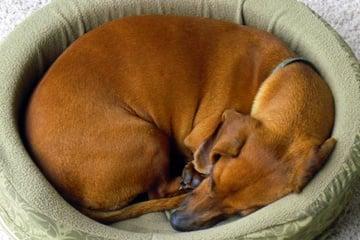 Защо кучетата спят свити на