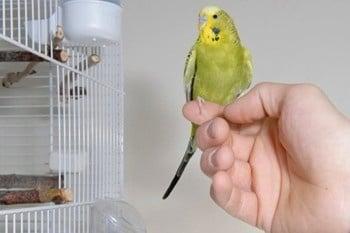 Защо моята птичка не иска да стъпи на ръката ми?