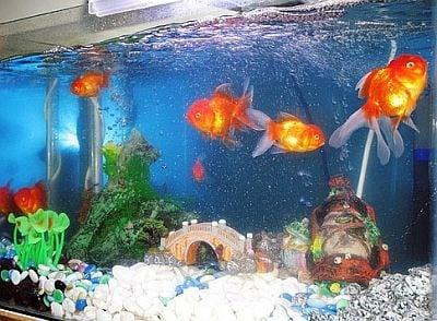 Какво ще стане със златната рибка ако се държи в тъмна стая?