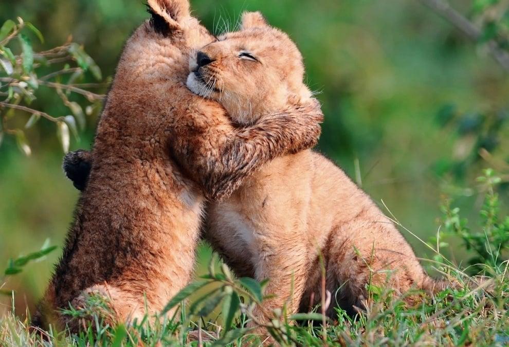 Убити лъвове в зоопарк