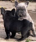 Качествени френски булдог кученца