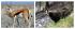 Исторически данни за Дива коза