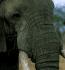 Кожа на Африкански слон