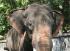 Уши на Азиатски слон