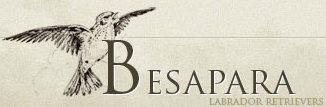 """Развъдник за Лабрадор """"Besapara"""""""