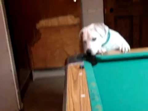 Куче играе билярд
