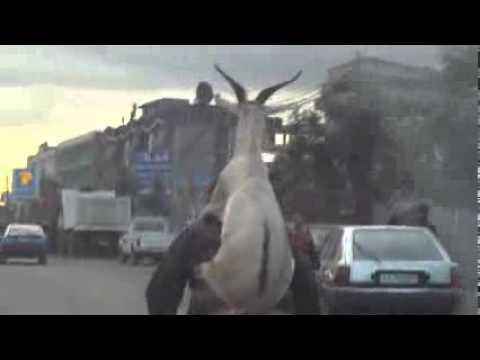 Коза се вози на велосипед