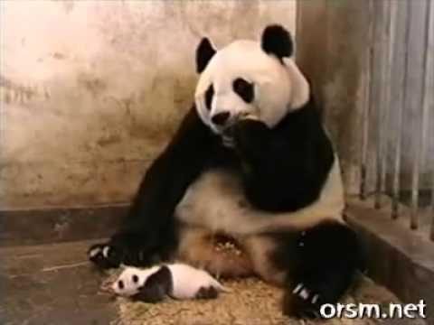 Вижте как киха пандата