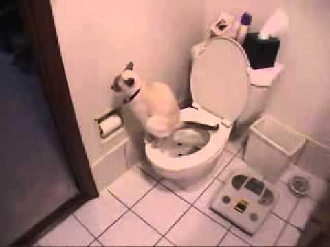 Котка се изхожда в човешка тоалетна