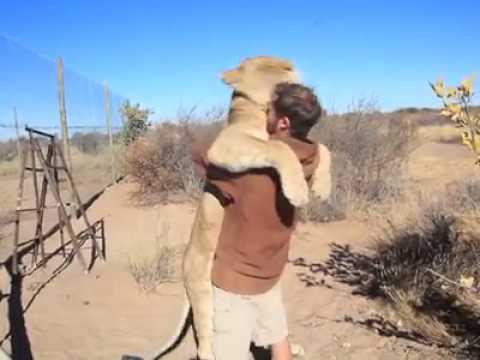 Изумително: лъвица прегръща човек, както малко дете своята майка