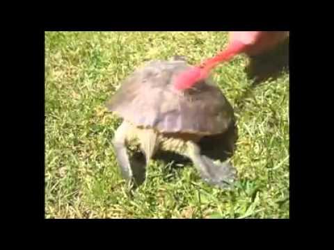 Танцът на една костенурка