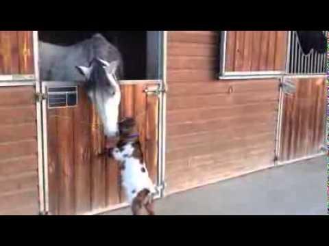 Малка козичка се опитва да пребори голям кон, а той я целува