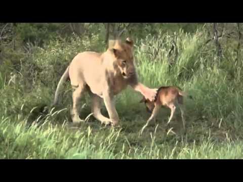 Лъв спасява живота на бебе антилопа