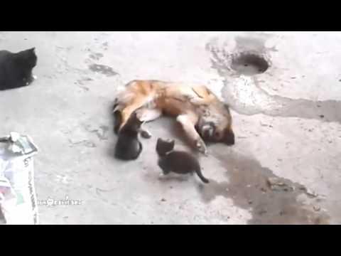 Котка запознава малките си с нейния стар приятел - дворното куче