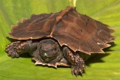 Бодлива костенурка