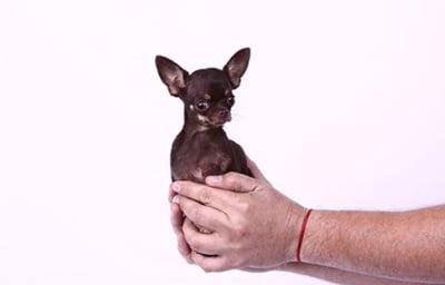 Запознайте се с Мили, най - малкото куче в света, което може да се побере в дланта ви