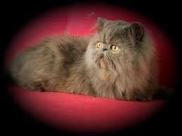 Котка която се изправя на задни крака