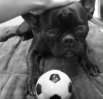frensh bulldog