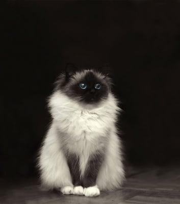 Черно-бяла котка