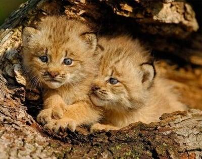 Лъвчета