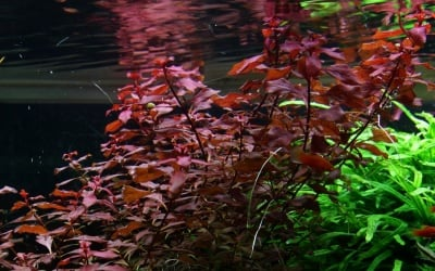 """Ludwigia palustris potted"" - Растение за аквариум"