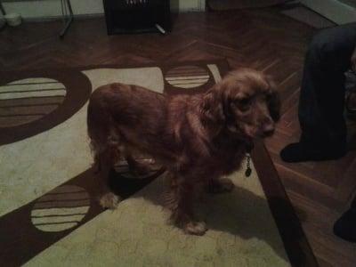 Кокер шпаньол: най - сладкото куче