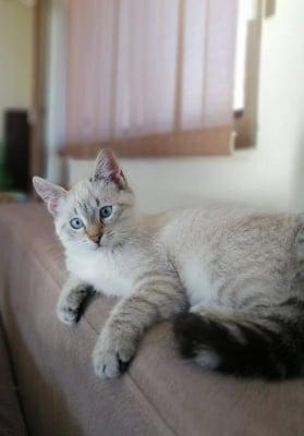 Тайска Котка (Рисов вариант)