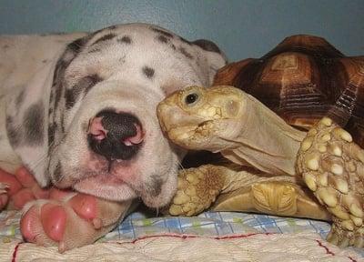 Африканска шпореста костенурка и куче, които живеят заедно