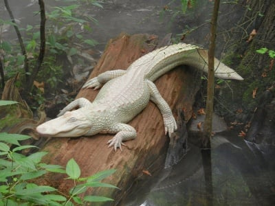 Алигатор албинос