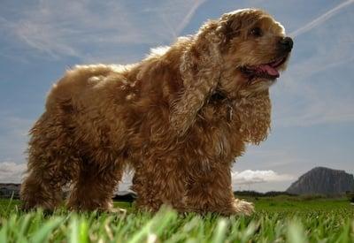 Асцит при кучето