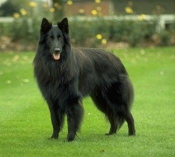 Грюнендал - белгийска овчарка