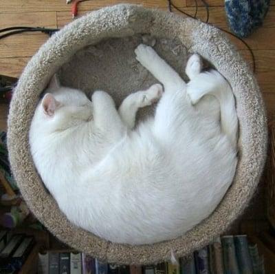 Бяла котка в кръгло легло